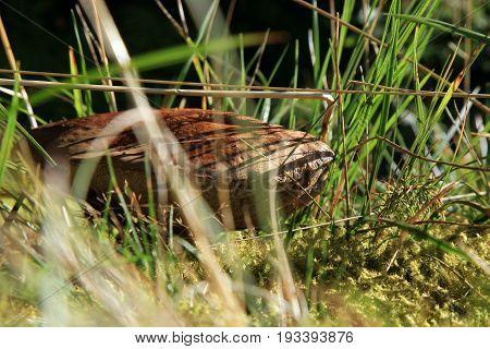 Brown mushroom - Leccinum scabrum in forest meadow