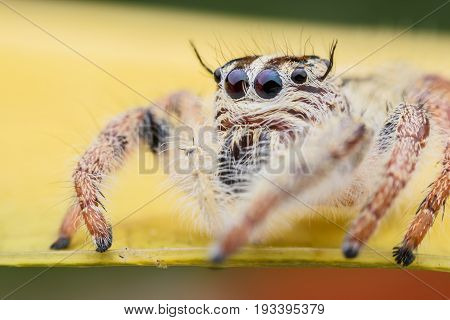 Super macro female Hyllus diardi or Jumping spider on yellow leaf