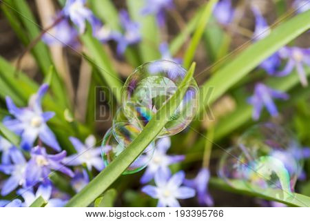 Three Delicate And Colorful Soap Bubbles Clinging To A Blade Of Grass, Purple Flowers In The Backgro