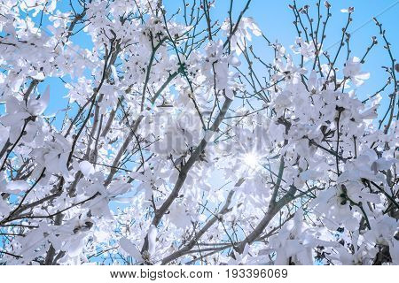 Fresh White Spring Blossoms Covering Trees, View From Underneath With Starburst Sun Rays Bursting Th
