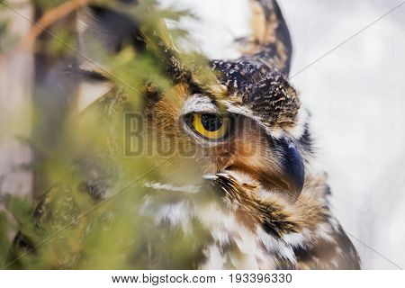 Stern Great Horned Owl Predator Perched In A Tree Partially Hidden By Leaves