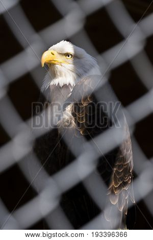 A Bald Eagle In Strength And Dignity Pose Behind Chain Fence, Face And Head Lit And Background In Sh