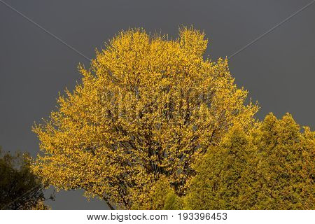 Large Tree In Spring, Leaves Lit Up Bright Yellow Under Sunlight In Contrast To Stormy Sky Backgroun