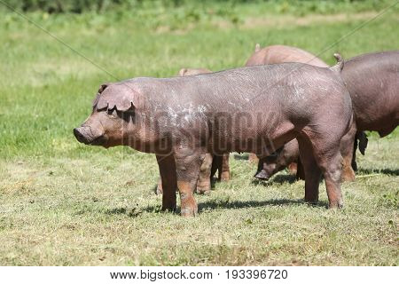 Young duroc breed pig pose on natural environment