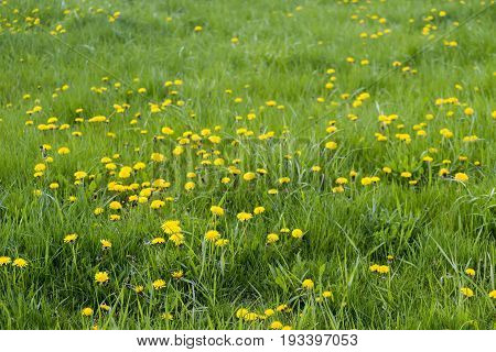 Long Grass And Dandelion Covered Lawn, Vibrant Green And Yellow