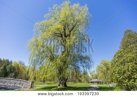 Large Mature Willow Tree Standing Tall In A Quaint Park