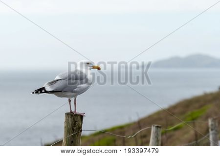 Seagull Stands On A Post In Dingle Peninsula