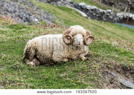 Sheep Ram In Dingle Peninsula
