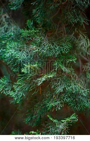 Evergreen juniper background. Photo of bush with green needles. Ornamental thorns of Juniperus communis treetop edges branches of a juniper Close-up background