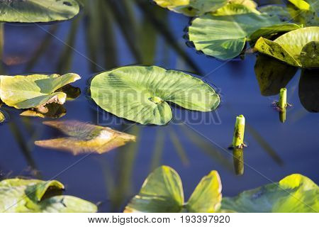 Lily Pads Floating On Deep Blue Tranquil Water