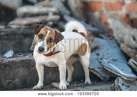 A dog Jack Russell Terrier on the steps of destroyed building
