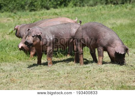 Young duroc pig herd grazing on farm field summertime