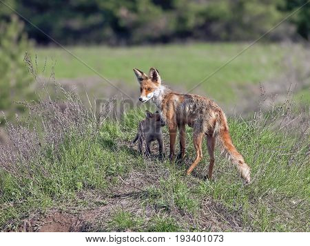 Fox In A Meadow With A Brood