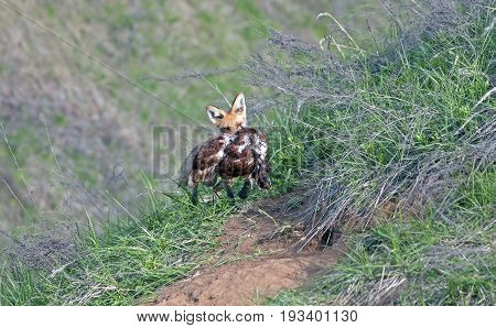 Fox With Prey In Its Mouth