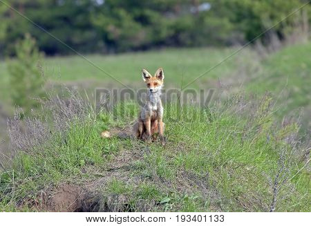 Red Fox Walks On A Meadow In Spring