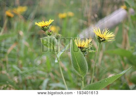 Yellow flowers of medicinal plant Elecampane (Inula helenium) or horse-heal in bloom.