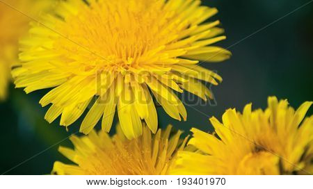 Close up of Dandelion flowers growing in field