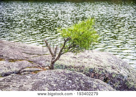 Small Pine Tree Growing Between Large Mossy Rocks Next To Body Of Water