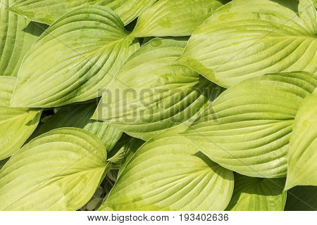 Vibrant And Healthy Wide Hosta Leaves, Solid Green