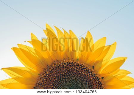Sunflowers texture and background for designers. Sunflowers field background. Macro view of sunflower in bloom. Organic and natural flower background.