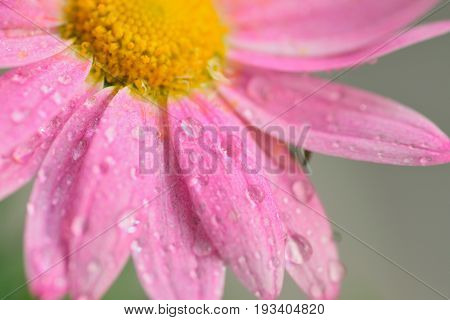 Macro texture of pink colored Daisy flowers with water droplets in horizontal frame
