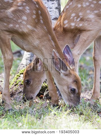 Beautiful Whitetail Fawn In Natures Great Outdoors's