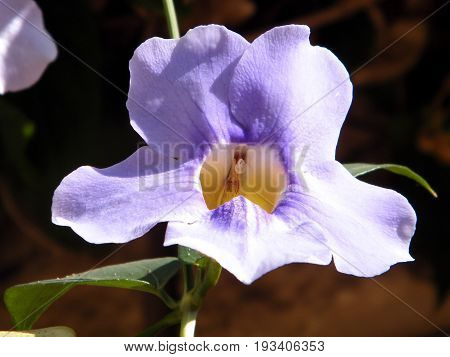 Thunbergia Grandiflora flower isolated closeup in Or Yehuda Israel
