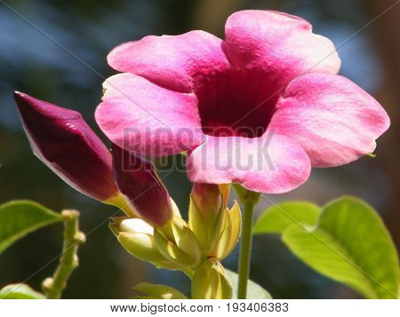 Mandevilla sanderi flower isolated and buds in Or Yehuda Israel