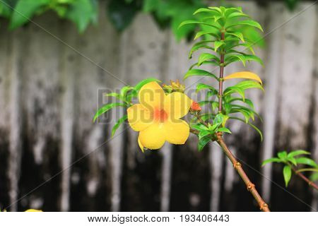 Allamanda Cathartica Yellow Flower And Drop Of Water At Beautiful, Golden Trumpet Willow-leaved Clim