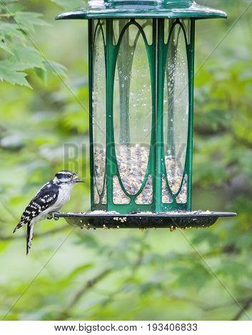 Woodpecker Perched On Bird Feeder Eating Bird Seed