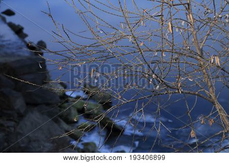 Dry bare tree by the winter river with ice plate at background.