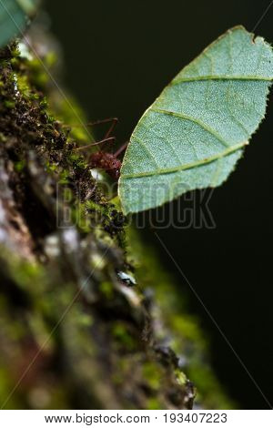 Leafcutter Ant In The Forest