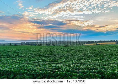 The green field with a crop over which the sky with the clouds painted morning orange color. Krasnodar Krai Kuban.