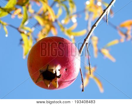 Pomegranate isolated in Neve Monosson near Or Yehuda Israel