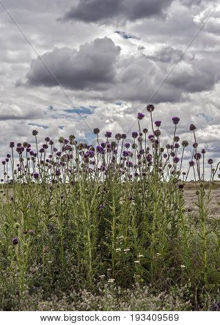 South of Russia spring in the Kalmyk steppes. Blossoming thistle on the background of the pre-threatened sky.