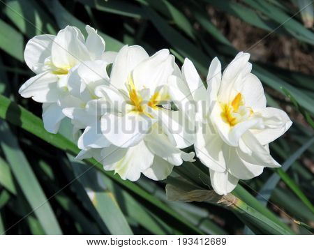 Narcissus flowers in Mclean near Washington DC 20 April 2016 USA