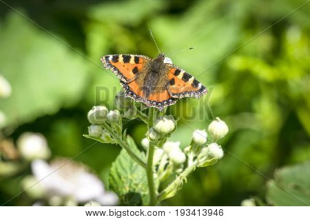 Tortoiseshell Butterfly On A Plant