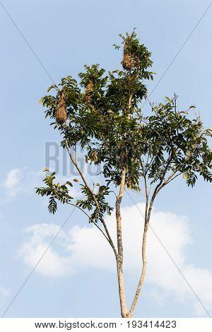 The nests of the Amazon weaver bird, Lake Sandoval, Peru