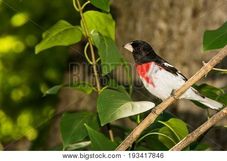 A Rose-breasted Grosbeak perched in a small tree.