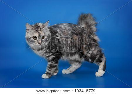 Bobtail cat whole body portrait isolated on blue background