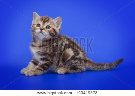 A small kitten on a blue studio background.