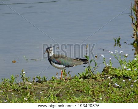 Lapwing standing close to the waters edge