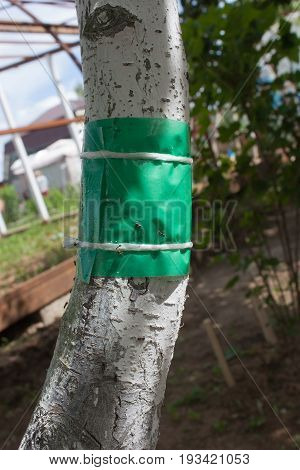 green sticky tape on the tree trunk to protect against crawling insects