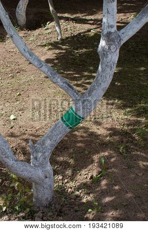 green sticky tape on the tree trunk to protect it from ants