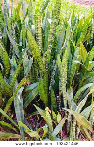 Sansevieria trifasciata also called viper's bowstring hemp snake plant mother-in-law's tongue or Saint George's sword is a species of flowering plant in the family Asparagaceae.