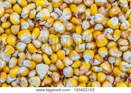 Dried grains of corn crop close-up. Agricultural background.