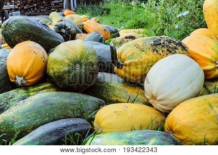Large crop of zucchini stacked in a pile
