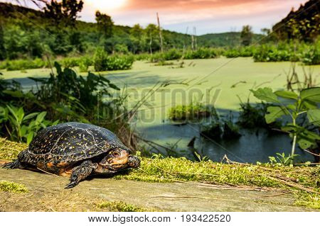 A beautiful Spotted Turtle basking at sunset.