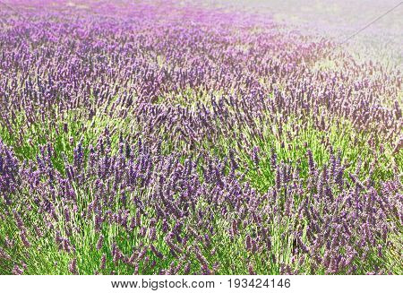 Lavender fresh growing flowers close up in summer field, France, retro toned