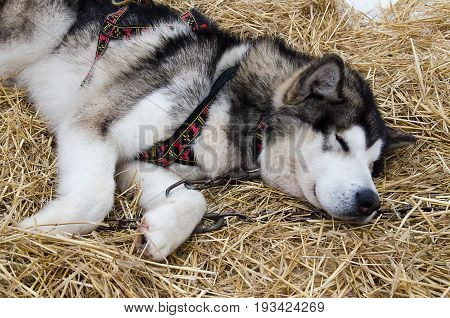 Closeup of alaskan malamute (draught dog) sleeping in gear on snow and straw bedding